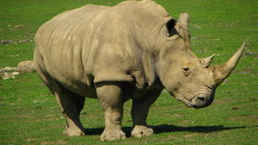 African Rhinoceros looks like a dinosaur. Stock Photo