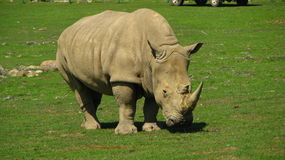 African Rhinoceros looks like a dinosaur. Stock Photos