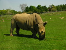 African Rhinoceros looks like a dinosaur. Royalty Free Stock Photos