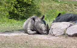 African Rhinoceros Royalty Free Stock Images
