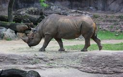 African Rhinoceros walking. In the afternoon Stock Photo