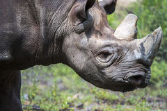 African rhinoceros,wildlife Royalty Free Stock Photos