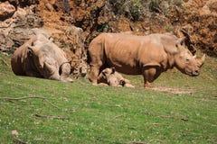 African rhinoceroses (Diceros bicornis minor) on the Masai Mara Royalty Free Stock Photos