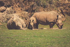 African rhinoceroses (Diceros bicornis minor) on the Masai Mara Royalty Free Stock Photo