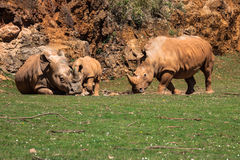 African rhinoceroses (Diceros bicornis minor) on the Masai Mara Stock Image