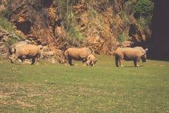 African rhinoceroses (Diceros bicornis minor) on the Masai Mara Royalty Free Stock Image