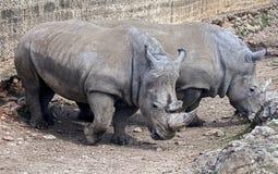 African rhinoceroses 1 Stock Image
