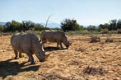 African rhinos. Royalty Free Stock Photos