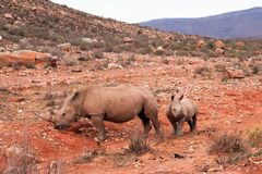 African Rhinos. Rhinos. Today, five species of rhinos remain and it is a struggle against time if we are to save them. Africa, african, africans, afrikaans stock photos