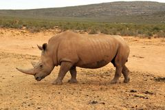 African Rhinos royalty free stock photography