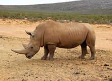 African Rhinos. Today, five species of rhinos remain and it is a struggle against time if we are to save them. Africa, african, africans, afrikaans, animal stock images