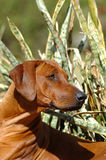 African Rhodesian Ridgeback dog Royalty Free Stock Images