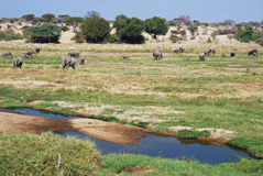 African river landscape with group elephants. African green river landscape with large group African elephants also known as savanna elephants ( Loxodonta royalty free stock image