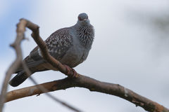 African rock dove Royalty Free Stock Photo