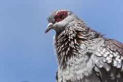 African Rock Dove Royalty Free Stock Images