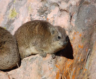 African Rock Hyrax Stock Photos
