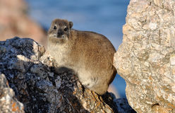 African Rock Hyrax Royalty Free Stock Photography
