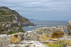African rock hyrax - dassy on Cape Good Hope. African rock hyrax - dassy, against Cape Good Hope slopes, atlantic ocean and grey cloudy sky Royalty Free Stock Photo