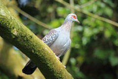 African rock pigeon Stock Photos