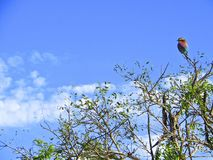 African Roller. A bright and multicoloured bird perches on a bush branch with a blue sky background in Kruger, South Africa royalty free stock photography