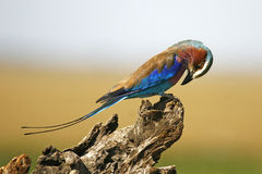 African roller Stock Photography