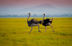 African  running ostrichs Royalty Free Stock Photos