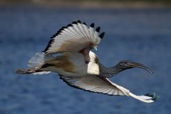 African Sacred Ibis. In flight over water Royalty Free Stock Photos