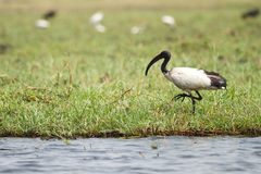 African sacred Ibis Royalty Free Stock Images