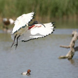 African sacred ibis. Flying over a lake Royalty Free Stock Photography