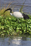 African Sacred Ibis Royalty Free Stock Photos