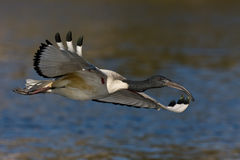 African Sacred Ibis. In flight over water Royalty Free Stock Photo