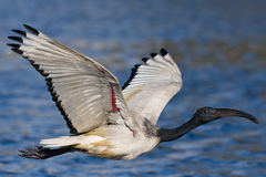 African Sacred Ibis. In flight over water Royalty Free Stock Images