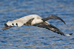 African Sacred Ibis. In flight over water Stock Photography