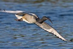 African Sacred Ibis. In flight over water Stock Photos