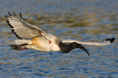 African Sacred Ibis. In flight over water Royalty Free Stock Image