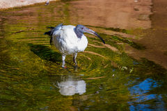 Free African Sacred Ibis Stock Photography - 69089972