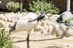 African sacred ibis bird with long  black beak Stock Photo