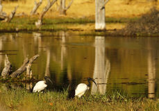 African Sacred Ibis. These birds were often mummified by Ancient Egyptians as a symbol of the god Thoth stock photography