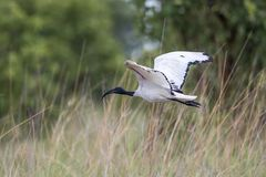 African Sacred Ibis - Botswana royalty free stock photo