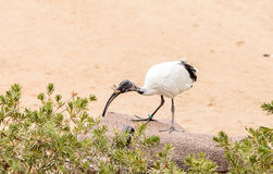 African sacred ibis called Threskiornis aethiopicus Royalty Free Stock Photos