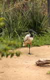 African sacred ibis called Threskiornis aethiopicus Royalty Free Stock Photography