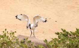 African sacred ibis called Threskiornis aethiopicus Stock Photos