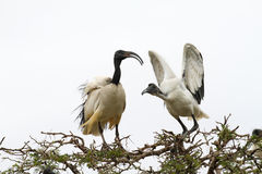 African Sacred Ibis Stock Photo