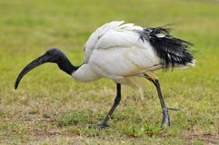 African sacred ibis on grass Royalty Free Stock Photo