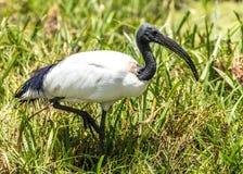African sacred ibis Stock Photo