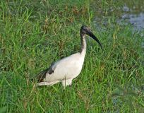 African Sacred Ibis in grassy back Royalty Free Stock Image