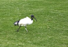 An African Sacred Ibis on green Stock Photography