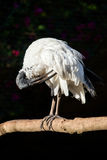 African sacred ibis grooming its feathers Royalty Free Stock Photos