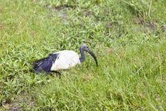 African Sacred Ibis, Kenya Stock Image