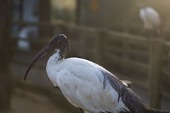 African sacred ibis Royalty Free Stock Photo